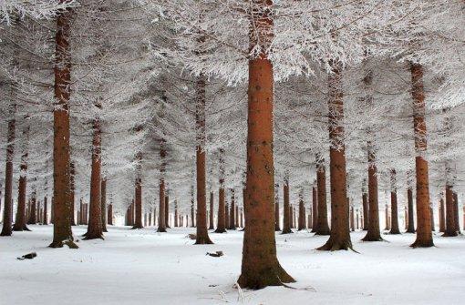 Хвойний ліс взимку
