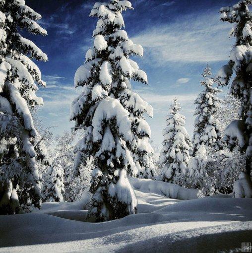 Зимові ялинки