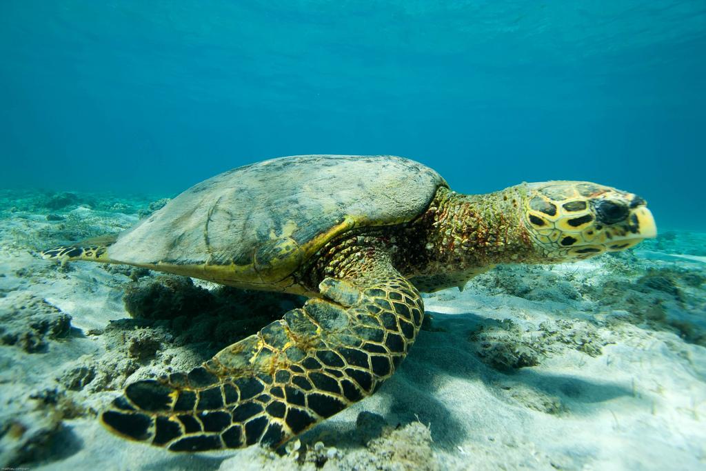 Черепаха біса в океані