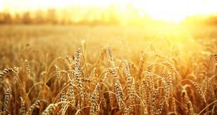 Аграрне міністерство США збільшило прогнози експортування пшениці з України