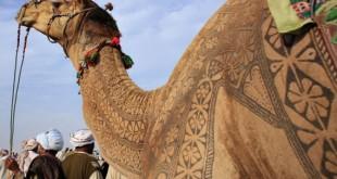 Конкурс красоты среди верблюдов в Пушкаре