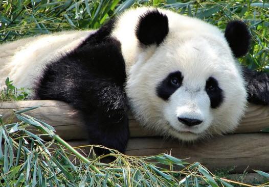 Медведь панда вегетарианец