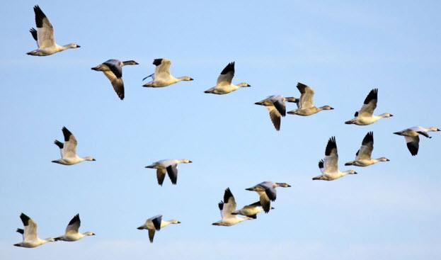 клин перелётных птиц