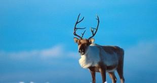 Северные олени - специалисты по выживанию в трудных условиях