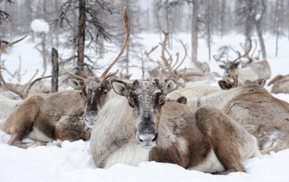 Как северные олени выживают в суровых условиях?