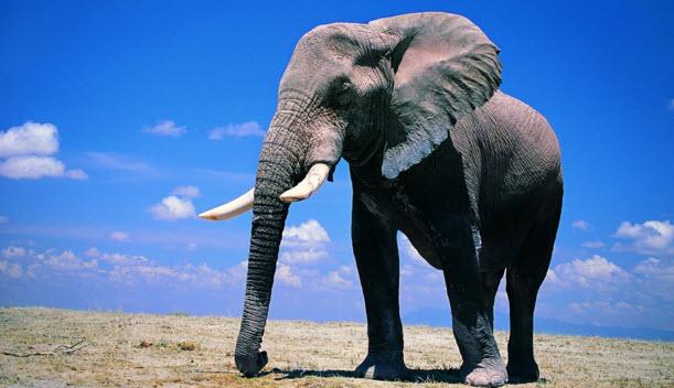 Слон в дар