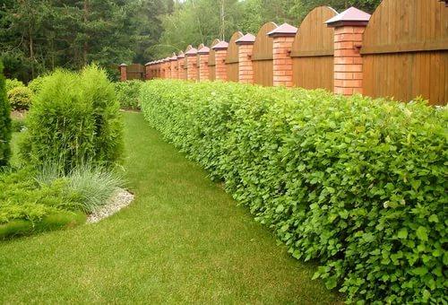 Подбор растений для живой изгороди