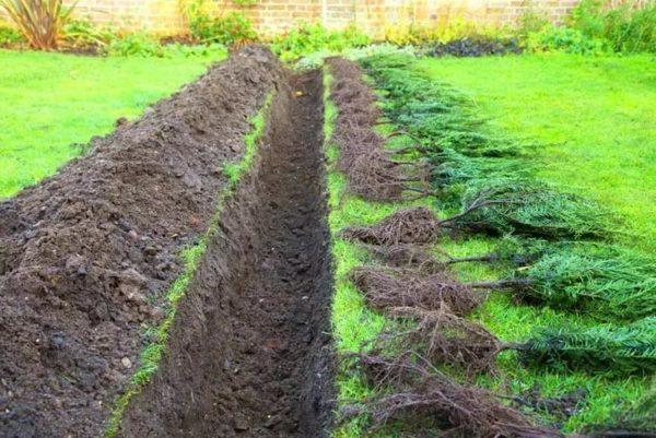 Живая изгородь – красивый забор
