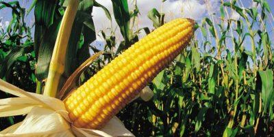 how to grow corn 1528315419